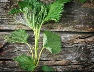 Nettle – The Edible Weed With Powerful Punches