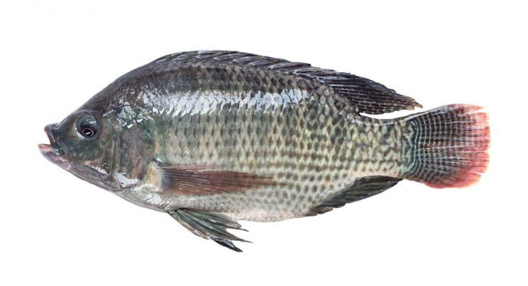 The truth about tilapia for What is tilapia fish