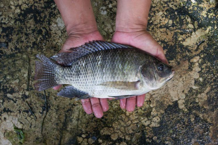 tilapia from the nile to the Hornorum/nile breeder colonies consists of 1 improved body form hornorum male and 5 nile females produces all-natural, hormone-free, all-male offspring with more usable flesh than other tilapia.