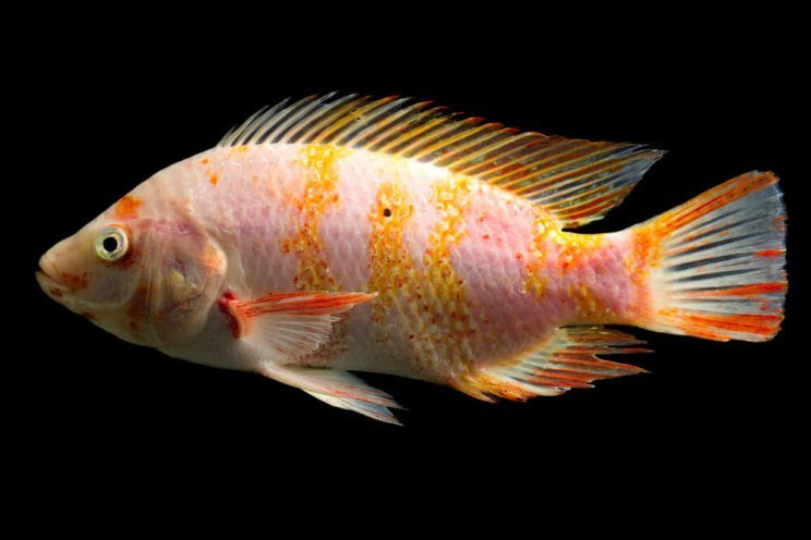 The truth about tilapia for Tilapia not real fish