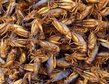 Eating Insects: The Crunchy Truth