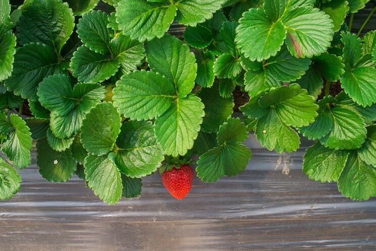 strawberry-leaves.jpg