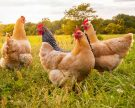 Cage-Free vs. Free-Range vs. Pasture-Raised – Here's What They Actually Mean