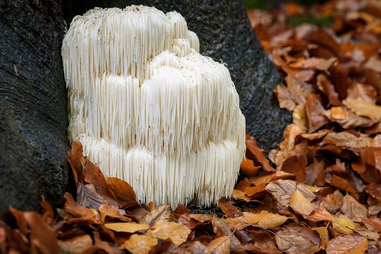 Lion's-Mane-Mushrooms.jpg